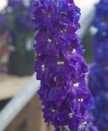 delphinium candle violet shades