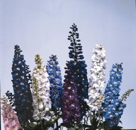 delphinium magic fountains crystal mix