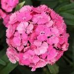 dianthus dash pink