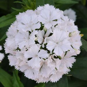 dianthus dash white