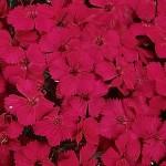 dianthus seeds amazon neon cherry