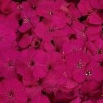 dianthus seeds amazon neon purple
