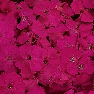 dianthus seeds amazon neon purple
