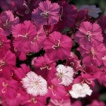 dianthus seeds amazon rose magic