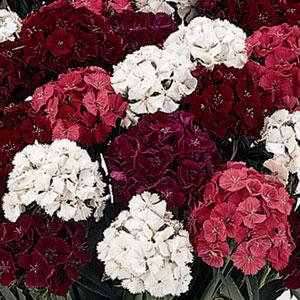 dianthus seeds sweet mix