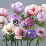 Anemone Galilée Pastel