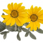gazania beda yellow silver leaf