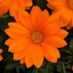 gazania new day clear orange