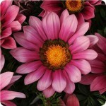 gazania new day pink shades