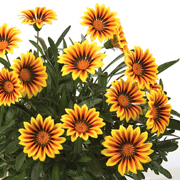 gazania new magic yellow with red and brown stripes and green leaf