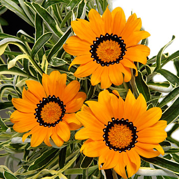 gazania variagated orange