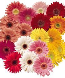gerbera festival spring bouquet mix