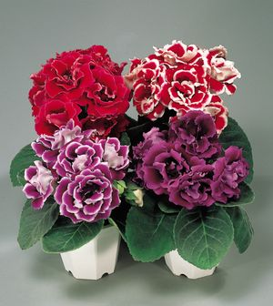 gloxinia brocade mix
