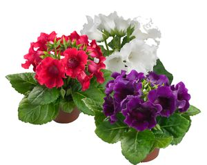 gloxinia multibells mix