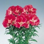 godetia grace red