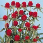 Gomphrena Haageana Red