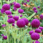 Gomphrena Globosa Purple