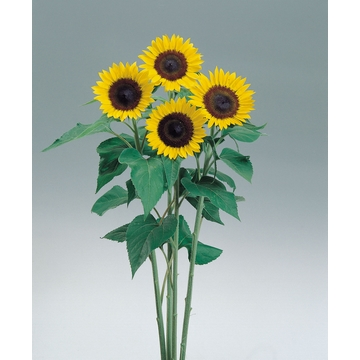 helianthus sunrich lemon