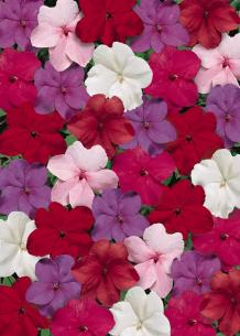 impatiens tempo crystal mix