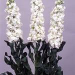 Violacciocca Kaory Super White