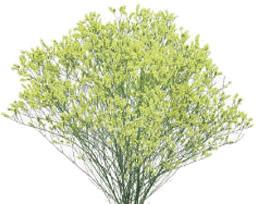 Limonium Sinensis Yellow