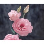 lisianthus arena 3 pink