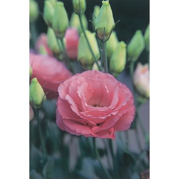 lisianthus arena 4 rose