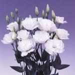 lisianthus borealis white