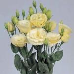 lisianthus borealis yellow
