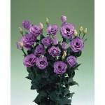 lisianthus croma 4 lavender