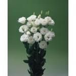 lisianthus croma 3 white