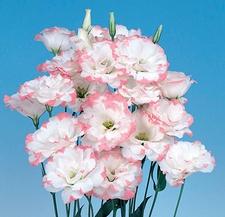 lisianthus echo pink picotee