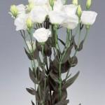 lisianthus excalibur pure white