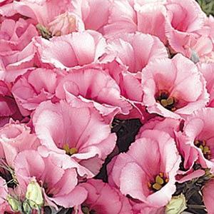 lisianthus florida pink