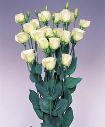 lisianthus piccolo2 deep lime green