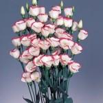 lisianthus piccolo3 pink rim