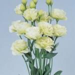 lisianthus rosita1 green