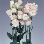 lisianthus rosita1 pink picotee