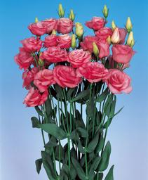 lisianthus- rosita1  pink