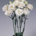 lisianthus rosita1 white