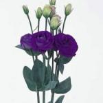 lisianthus rosita2 blue