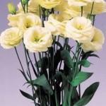 lisianthus rosita 3 yellow