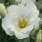 lisianthus sapphire white