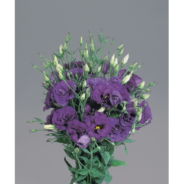 lisianthus super magic deep blue