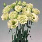 lisianthus rosita2 green