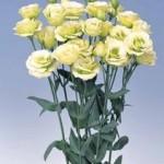 lisianthus rosita2 jade