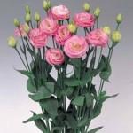 lisianthus rosita2 misty pink