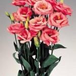 lisianthus rosita2 pink
