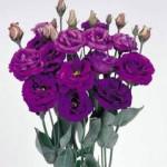 lisianthus rosita2 purple