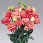 lisianthus rosita2 rose pink